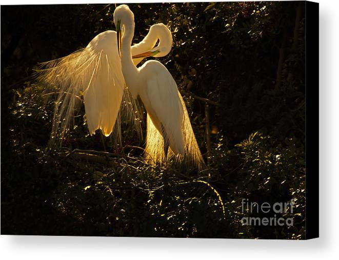 Bird Canvas Print featuring the photograph Nesting Pair Of Snowy Egrets by J L Woody Wooden