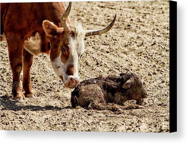 Cow Canvas Print featuring the photograph New Born Cow Calf by Brian Orlovich