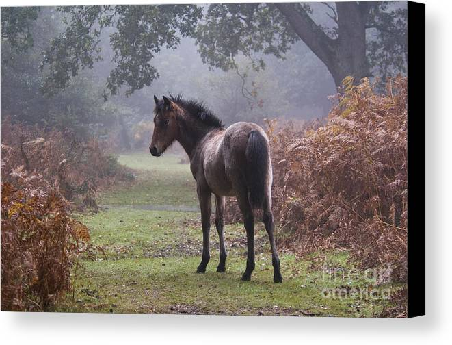 New Forest Pony Canvas Print featuring the photograph New Forest Pony by Dave Pressland FLPA