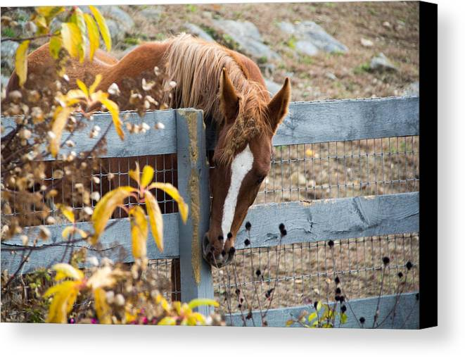 Horse Canvas Print featuring the photograph No Apples Here by Barbara Blanchard
