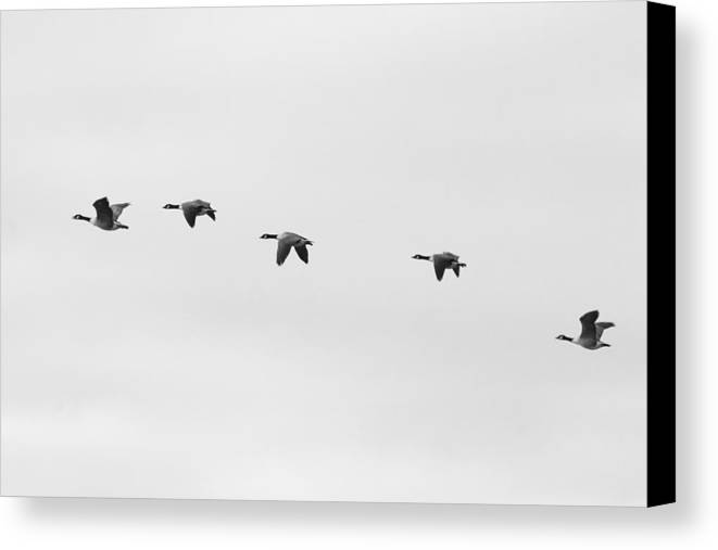 Geese Canvas Print featuring the photograph Norfolk Broads Geese by David Miller