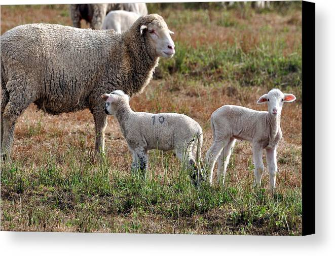 Lambs Canvas Print featuring the photograph Number 10 by Kim Clark