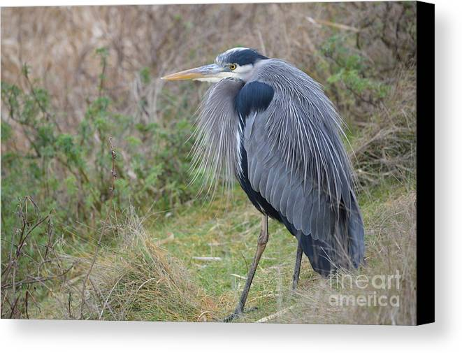 Landscape Canvas Print featuring the photograph Nw Blue Heron by Jan Noblitt