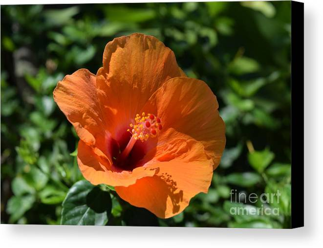 Hawaii Canvas Print featuring the photograph Orange Hibiscus by Randy Stapler