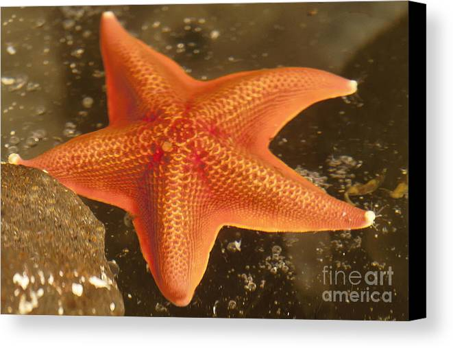 Gaviota Canvas Print featuring the photograph Orange Starfish In California Ocean by Artist and Photographer Laura Wrede