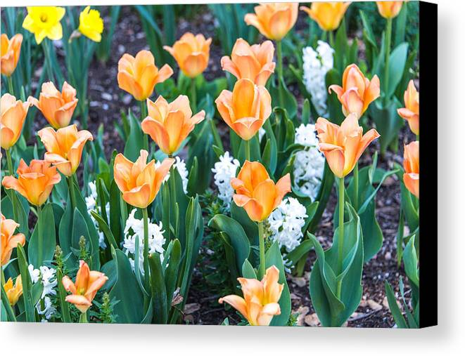 Tulip Canvas Print featuring the photograph Orange Tulips by William Beverly