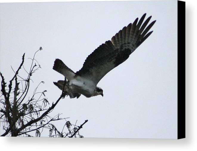 Birds Canvas Print featuring the photograph Osprey by Marcia Crispino