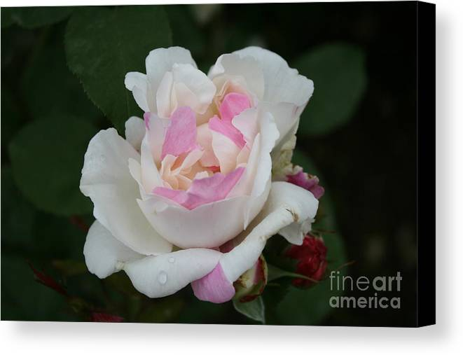 Rose Canvas Print featuring the photograph Pastel Summer Dream by Christiane Schulze Art And Photography