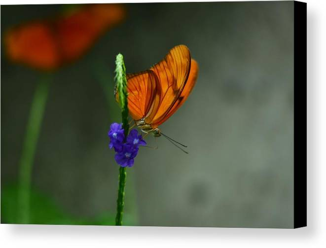 Butterfly Canvas Print featuring the photograph Peaceful by Stella Marin
