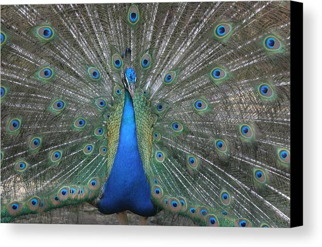 Bird Canvas Print featuring the photograph Peacock by Dervent Wiltshire