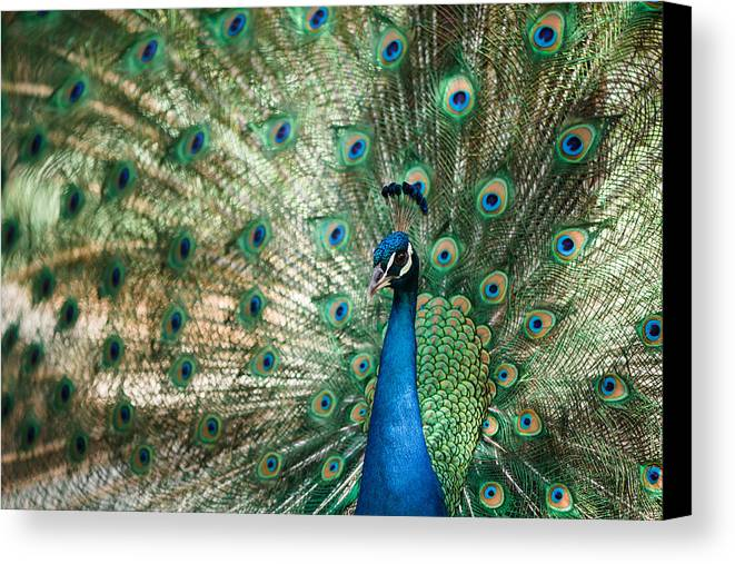Peacock Canvas Print featuring the photograph Peacocking by Nastasia Cook