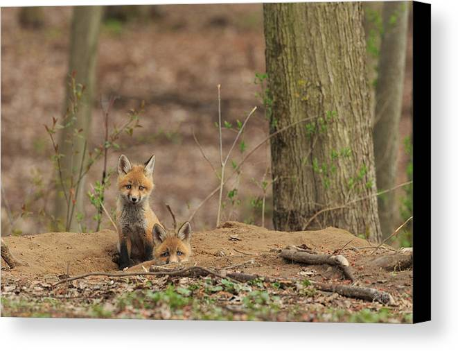 Red Fox Canvas Print featuring the photograph Peeking From The Fox Hole by Everet Regal