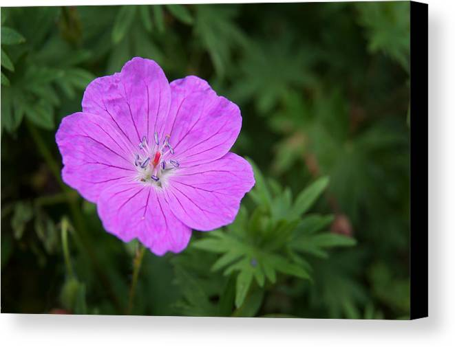 Purple Canvas Print featuring the photograph Petals Of Purple by Bill Pevlor