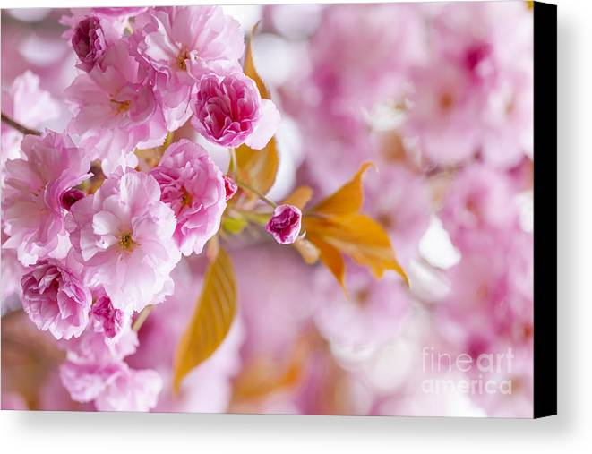 Cherry Canvas Print featuring the photograph Pink Cherry Blossoms In Spring Orchard by Elena Elisseeva