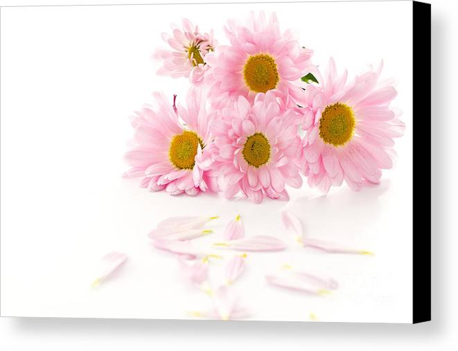 Pink Chrysanthemums Canvas Print featuring the photograph Pink Chrysanthemums Beautiful by Boon Mee