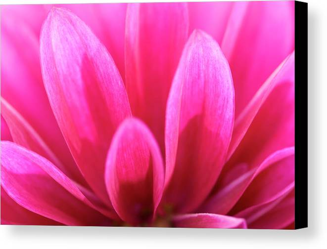 Plant Canvas Print featuring the photograph Pink Dahlia Petals Abstract by Nigel Downer