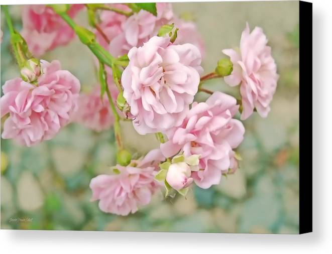 Rose Canvas Print featuring the photograph Pink Fairy Roses by Jennie Marie Schell