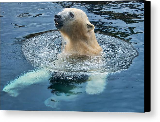 Polar Bear Canvas Print featuring the photograph Polar Bear Swim In Cold Water by Berkehaus Photography