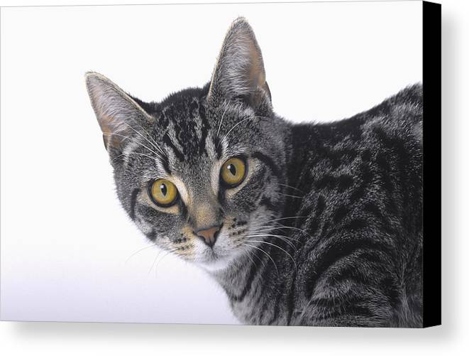 House Pet Canvas Print featuring the photograph Portrait Of A Grey Tabby Catvancouver by Thomas Kitchin & Victoria Hurst