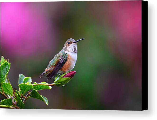 Hummer Canvas Print featuring the photograph Portrait Of A Hummer 2 by Lynn Bauer
