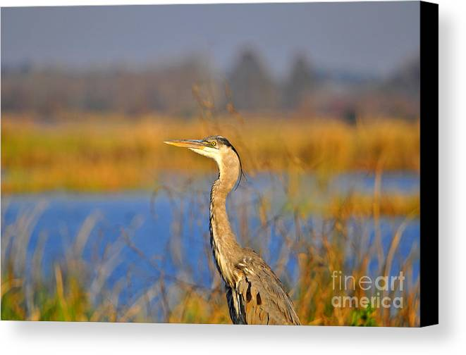 Heron Canvas Print featuring the photograph Proud Profile by Al Powell Photography USA