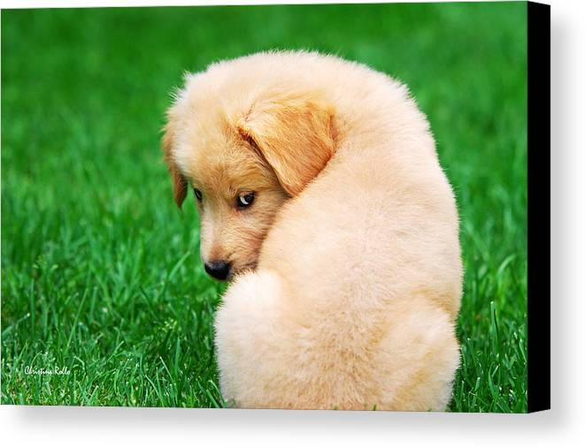 Golden Retriever Canvas Print featuring the photograph Puppy Love by Christina Rollo