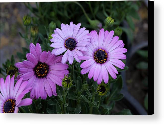 Flowers Canvas Print featuring the photograph Purple Flowers by Shishir Bansal