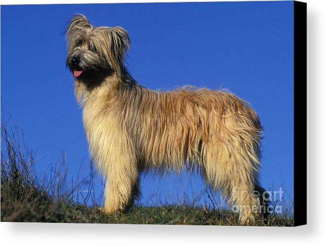 Pyrenean Shepherd Canvas Print featuring the photograph Pyrenean Sheepdog by Jean-Michel Labat