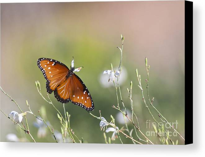 Butterfly Canvas Print featuring the photograph Queen In Morning Light by Ruth Jolly