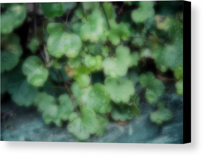 Ivy Canvas Print featuring the photograph Rain On The Ivy by Brenda Hackett