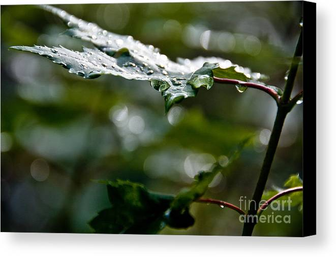 Leaves Canvas Print featuring the photograph Rain Sparkles by Cheryl Baxter