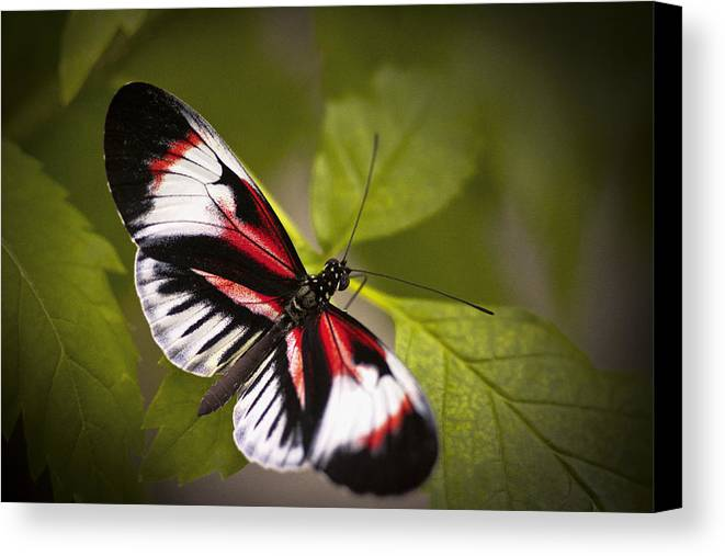 Butterfly Canvas Print featuring the photograph Red And Black by Bradley R Youngberg
