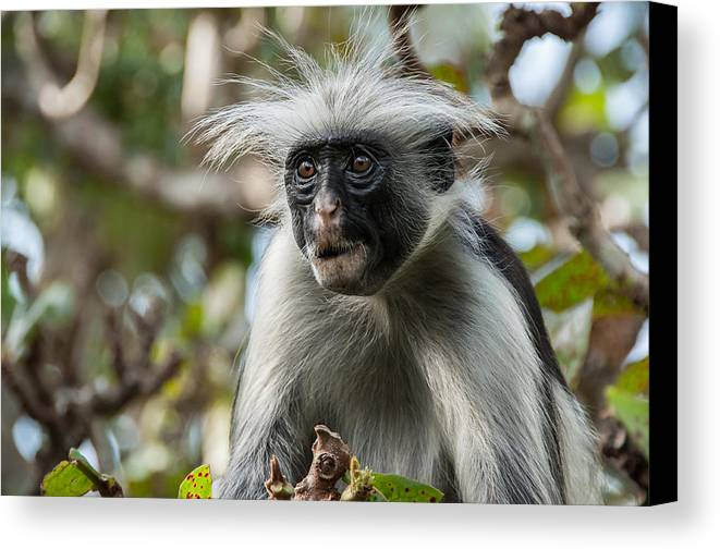 Monkey Canvas Print featuring the photograph Red Colobus by Luca Benazzi
