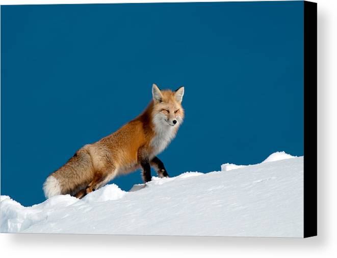Red Fox Canvas Print featuring the photograph Red Fox by Gary Beeler