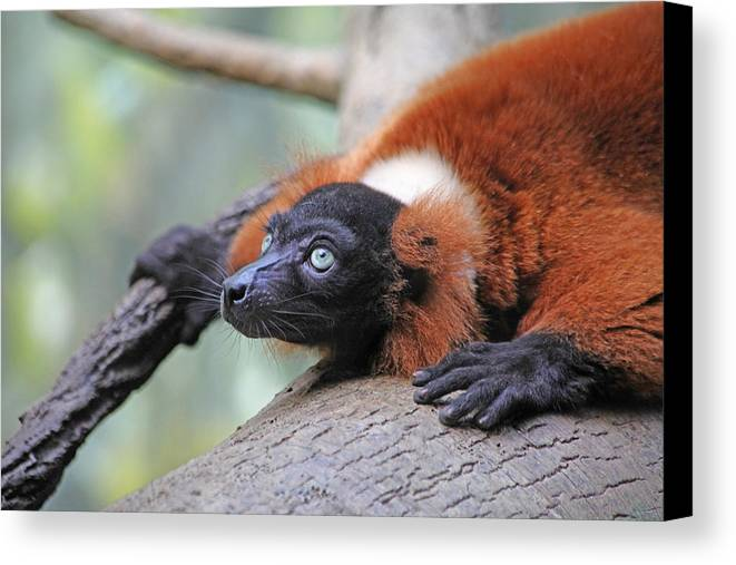 Red-ruffed Lemur Canvas Print featuring the photograph Red-ruffed Lemur by Karol Livote