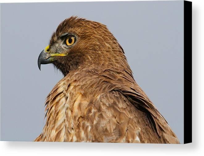 Hawk Prints Canvas Print featuring the photograph Red Tail Hawk Portrait by Paul Marto
