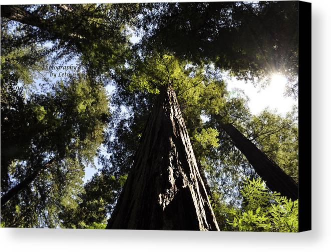 Redwood Canvas Print featuring the photograph Redwood Reach II by Leto Covington