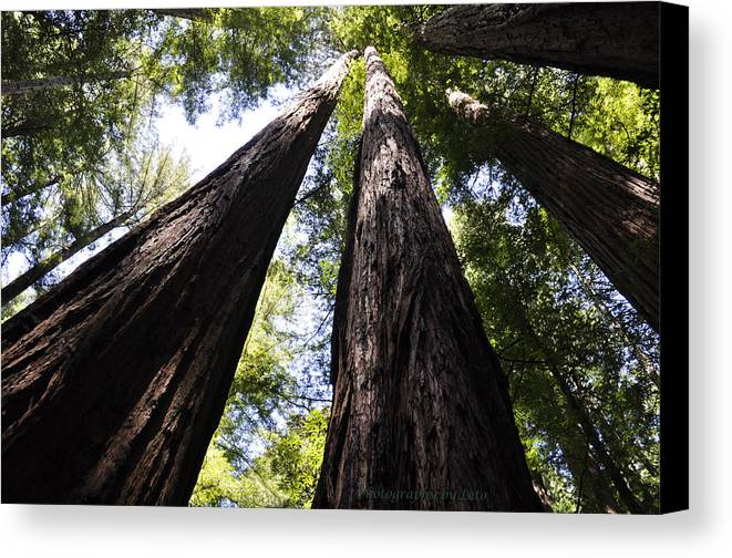 Redwoods Canvas Print featuring the photograph Redwood Reach by Leto Covington