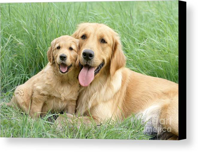 Dogs Canvas Print featuring the digital art Relaxing Retrievers by Greg Cuddiford