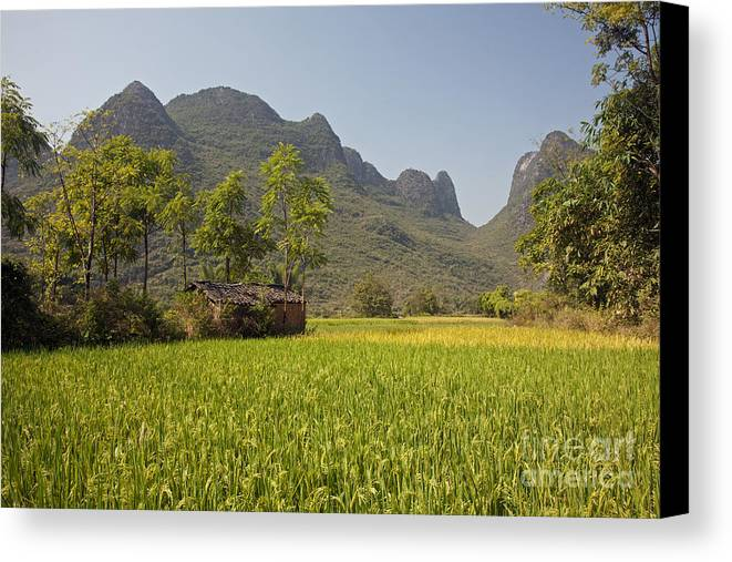 Agriculture Canvas Print featuring the photograph Rice Farm by David Davis