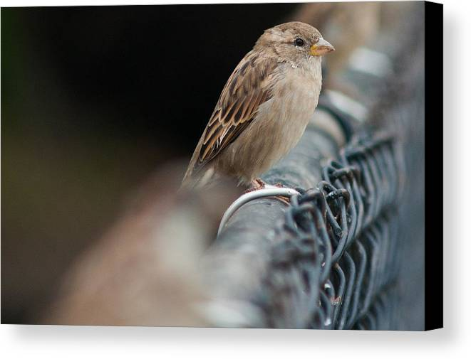 Animal Canvas Print featuring the photograph Riding The Fence by Craig Hosterman