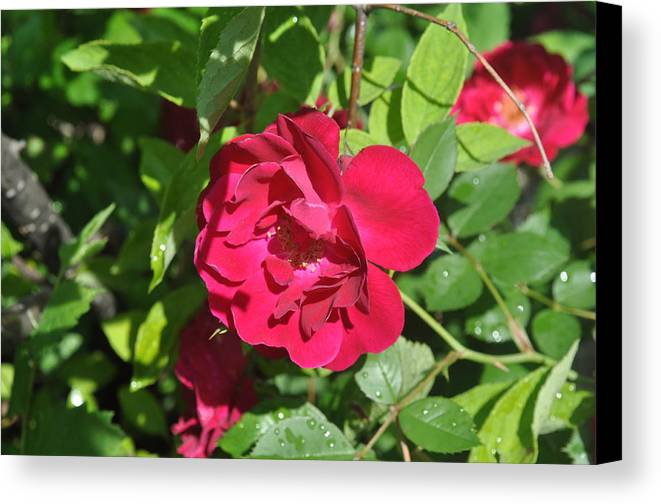 Rose Canvas Print featuring the photograph Rose On The Vine by Verana Stark