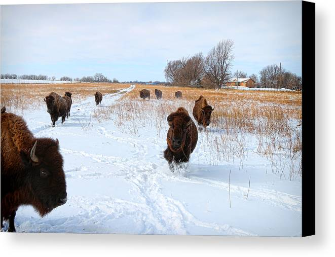 Canvas Print featuring the photograph Running Buffalo by Chris Harris