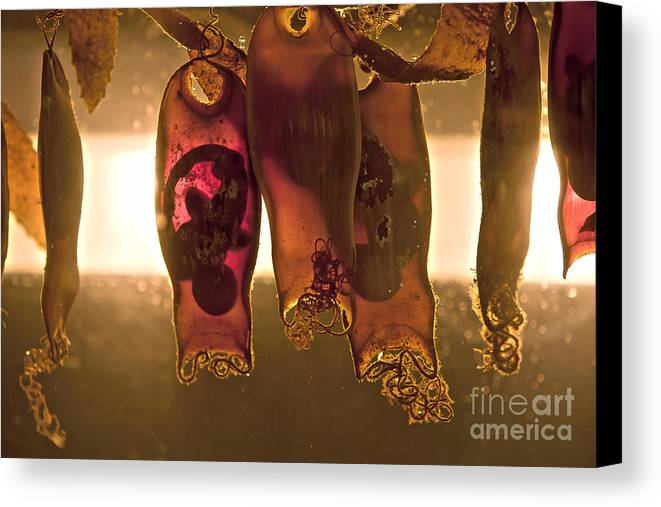 Sea Anenome Photographs Canvas Print featuring the photograph Sea Creature Pictures- Shark Eggs by Artist and Photographer Laura Wrede