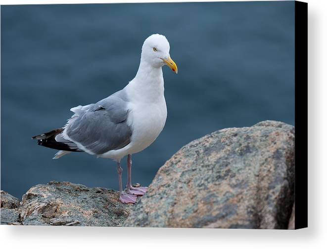 Acadia National Park Canvas Print featuring the photograph Seagull by Sebastian Musial