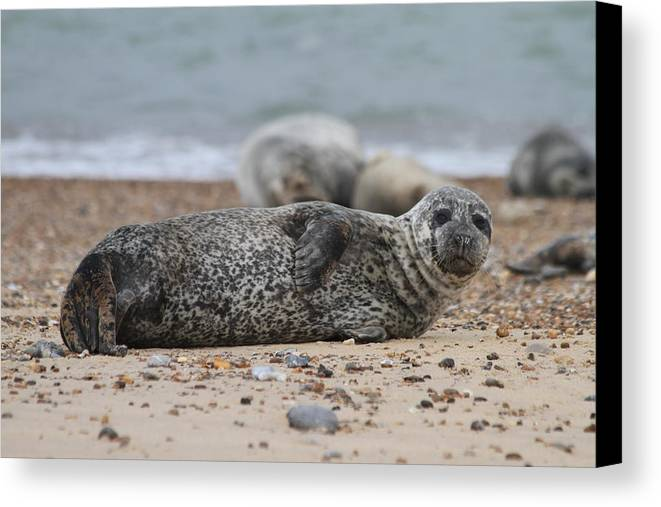 Seal Canvas Print featuring the photograph Seal Pup On Beach by Gordon Auld