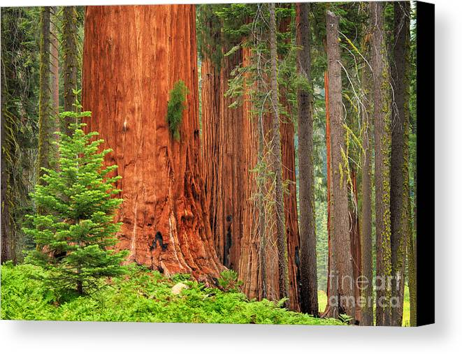 America Canvas Print featuring the photograph Sequoias by Inge Johnsson