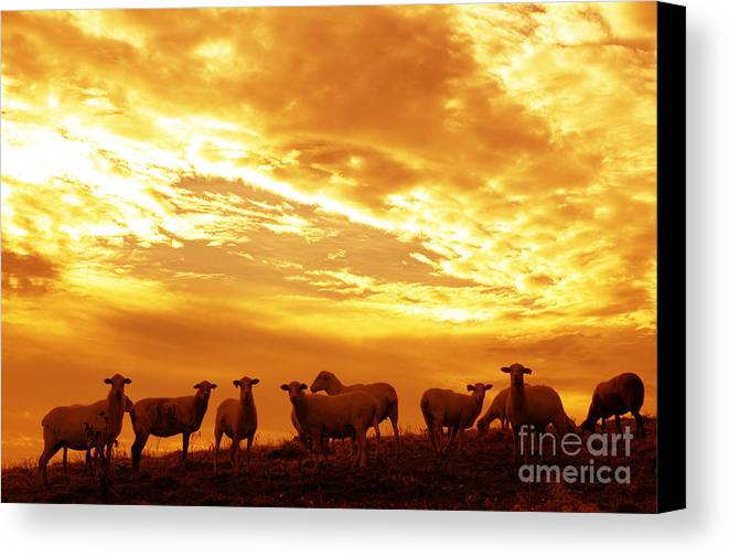 West Virginia Canvas Print featuring the photograph Sheep At Sunrise by Thomas R Fletcher