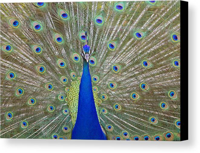 Peacock Canvas Print featuring the pyrography Showing Off by Shoal Hollingsworth