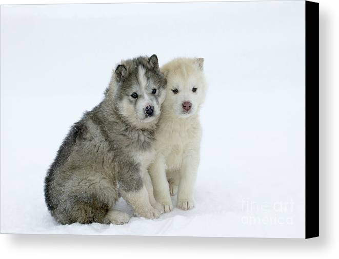 Siberian Husky Canvas Print featuring the photograph Siberian Husky Puppies by M. Watson